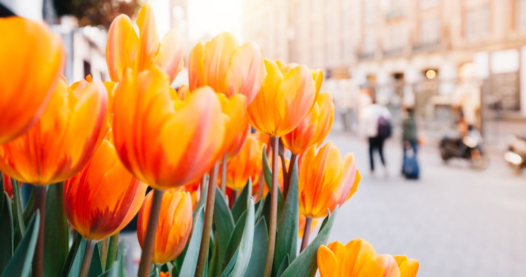 Tulips and Amsterdam